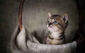 Desktop hintergrundbilder Hauskatze Kätzchen Weidenkorb Starren Tiere