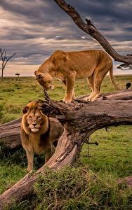 Hintergrundbilder Löwe Löwin Afrika Baumstamm Gras Tiere Natur