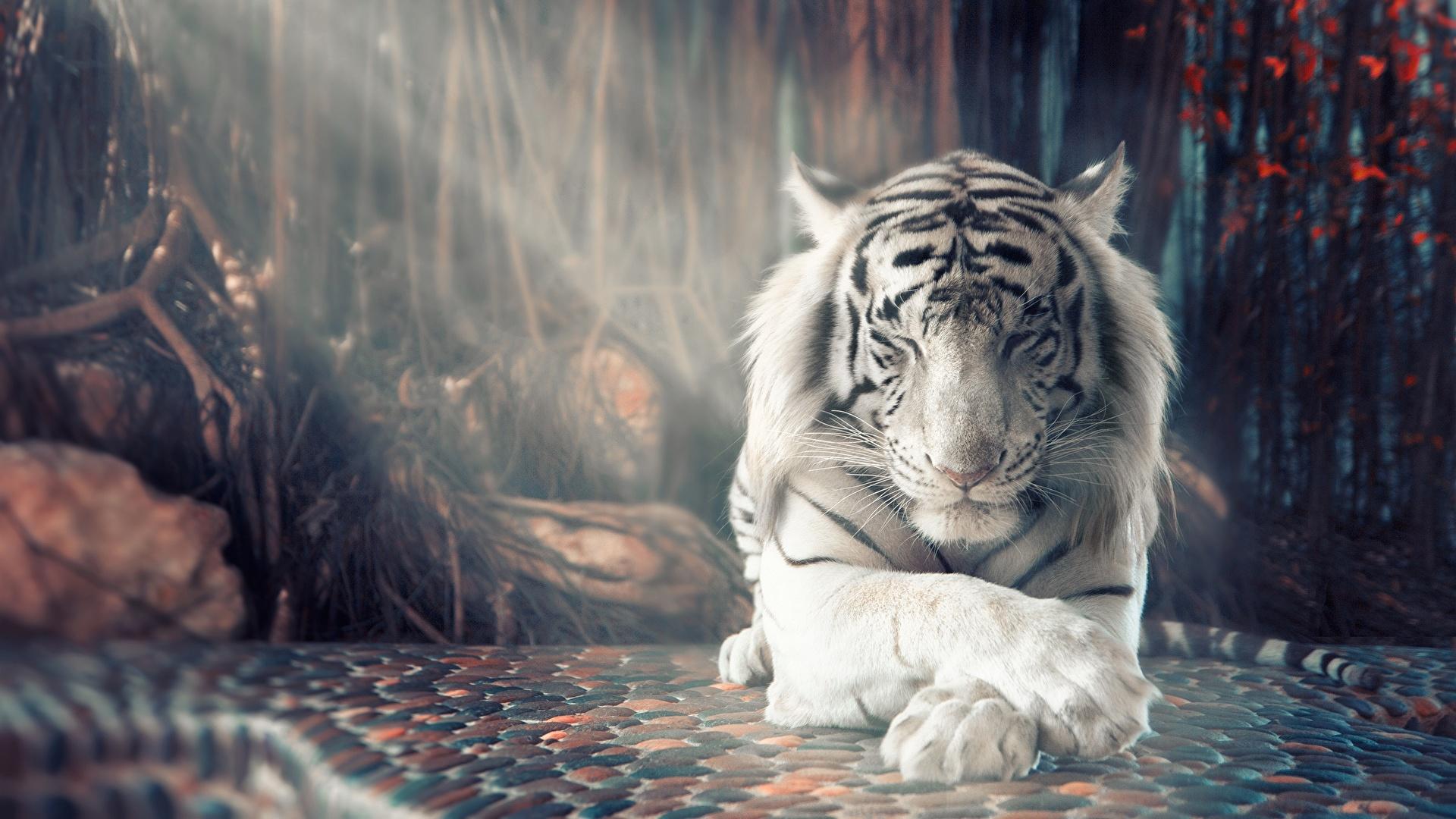 Fonds D Ecran 1920x1080 Tigre Blanc Patte Animaux Telecharger Photo