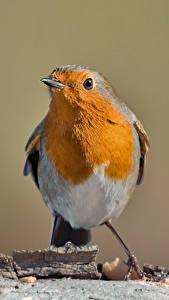 Hintergrundbilder Vögel Bokeh erithacus rubecula Tiere