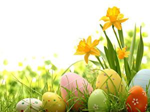 Hintergrundbilder Feiertage Ostern Narzissen Weißer hintergrund Ei Blumen