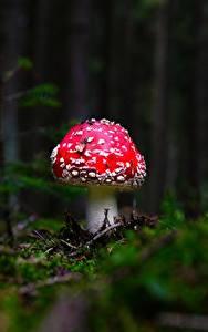 Bilder Pilze Natur Wulstlinge Bokeh Laubmoose Natur