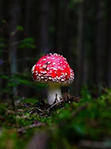 Wallpaper Mushrooms nature Amanita Bokeh Moss Nature