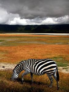 Fotos Zebras Grünland Tiere
