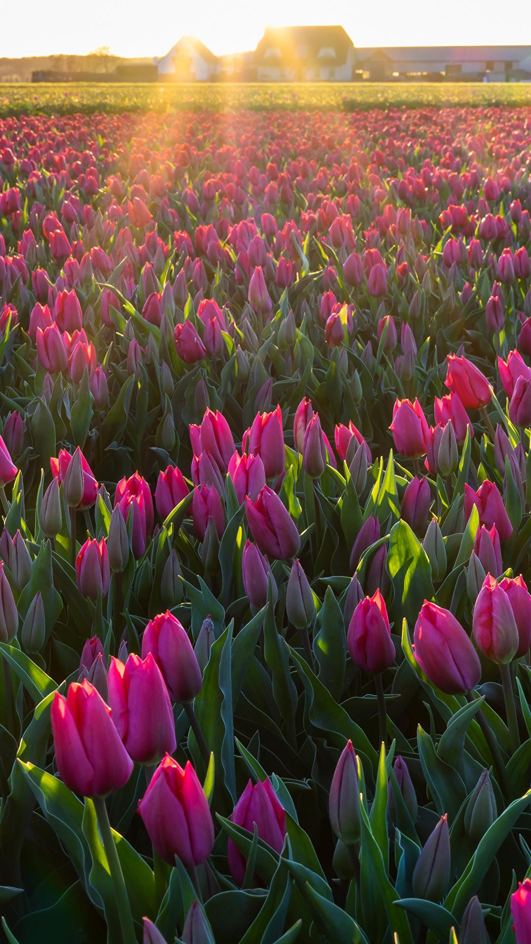 Fondos De Pantalla 1080x1920 Campos Tulipas Muchas Flores Descargar Imagenes