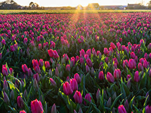 Images Fields Tulips Many Flowers