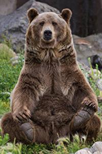 Fotos Bären Braunbär Steine Sitzt Gras Tiere