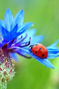 Hintergrundbilder Flockenblumen Großansicht Marienkäfer