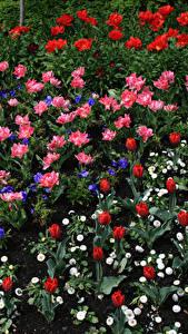 Fotos Tulpen Gänseblümchen Veilchen Blumen