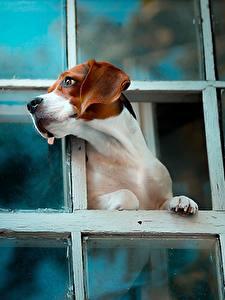 Fotos Hund Beagle Fenster Tiere