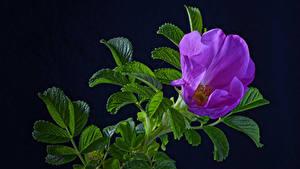 Papéis de parede Rosas Fundo preto Galho Violeta cor Folhagem Flores