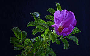 Wallpaper Roses Black background Branches Violet Foliage Flowers