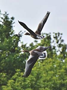 Desktop hintergrundbilder Vögel Gänse Zwei Flug ein Tier