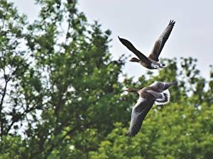 Bilder Vögel Gänse Zwei Flug ein Tier
