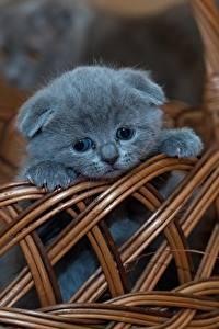 Papel de Parede Desktop Gatos Scottish Fold Cesta de vime Cinza Gatinhos animalia