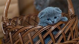 Hintergrundbilder Katzen Schottische Faltohrkatze Weidenkorb Graues Kätzchen