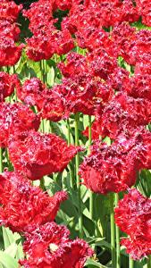 Hintergrundbilder Tulpen Viel Hautnah Rot Blumen