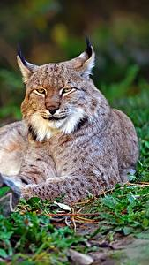 Pictures Lynx Staring Animals