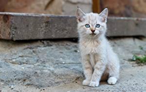 Fotos Hauskatze Kätzchen Sitzend Starren