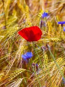 Fotos Mohnblumen Felder Ähren Blumen