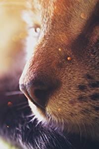 Tapety na pulpit Kot domowy Z bliska Nos Bokeh Zwierzęta