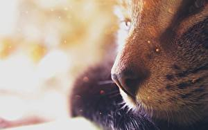 Fotos Hauskatze Großansicht Nase Bokeh Tiere