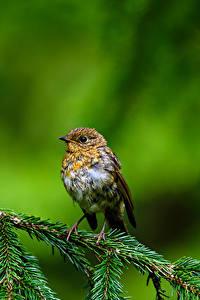 Fotos Vogel Ast Unscharfer Hintergrund Robin, True thrush