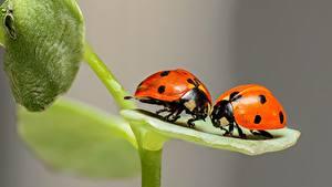 Fotos Makro Großansicht Marienkäfer Zwei ein Tier
