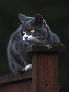 Hintergrundbilder Hauskatze Grau ein Tier