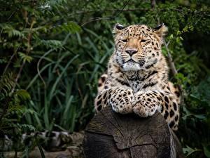 Fotos Leoparden Pfote Starren Unscharfer Hintergrund ein Tier