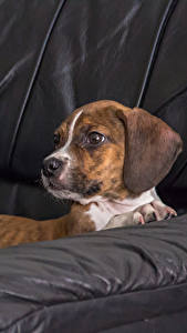 Picture Dogs Couch Beagle animal