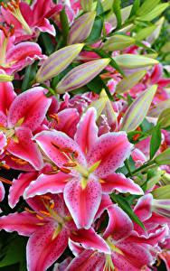 Hintergrundbilder Lilien Großansicht Rosa Farbe Blumen
