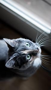 Fotos Katze Blick Grau Schnurrhaare Vibrisse ein Tier