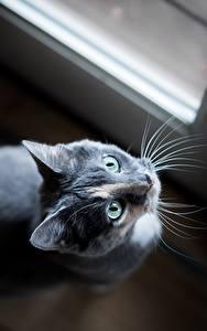 デスクトップの壁紙、、飼い猫、凝視、灰色、の洞毛、動物