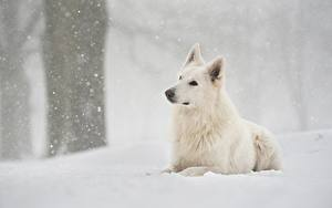 Hintergrundbilder Hunde Weiß Shepherd Schnee Berger Blanc Suisse
