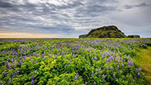 Hintergrundbilder Island Felder Lupinen Himmel