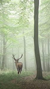Hintergrundbilder Wald Hirsche Bäume Nebel Tiere