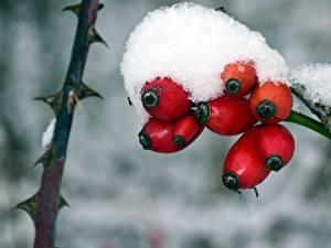 Fotos Beere Winter Großansicht Schnee Hagebutte Natur