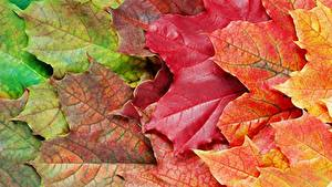 Bilder Hautnah Herbst Blattwerk Ahorn Natur