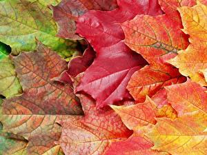 Bilder Hautnah Herbst Blattwerk Ahorn