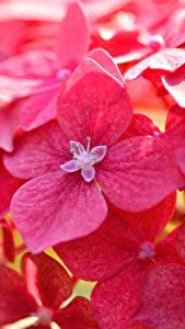 Fotos Großansicht Hortensien Rot Blumen