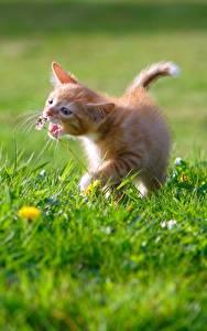 Fotos Katze Kätzchen Ingwer farbe Gras
