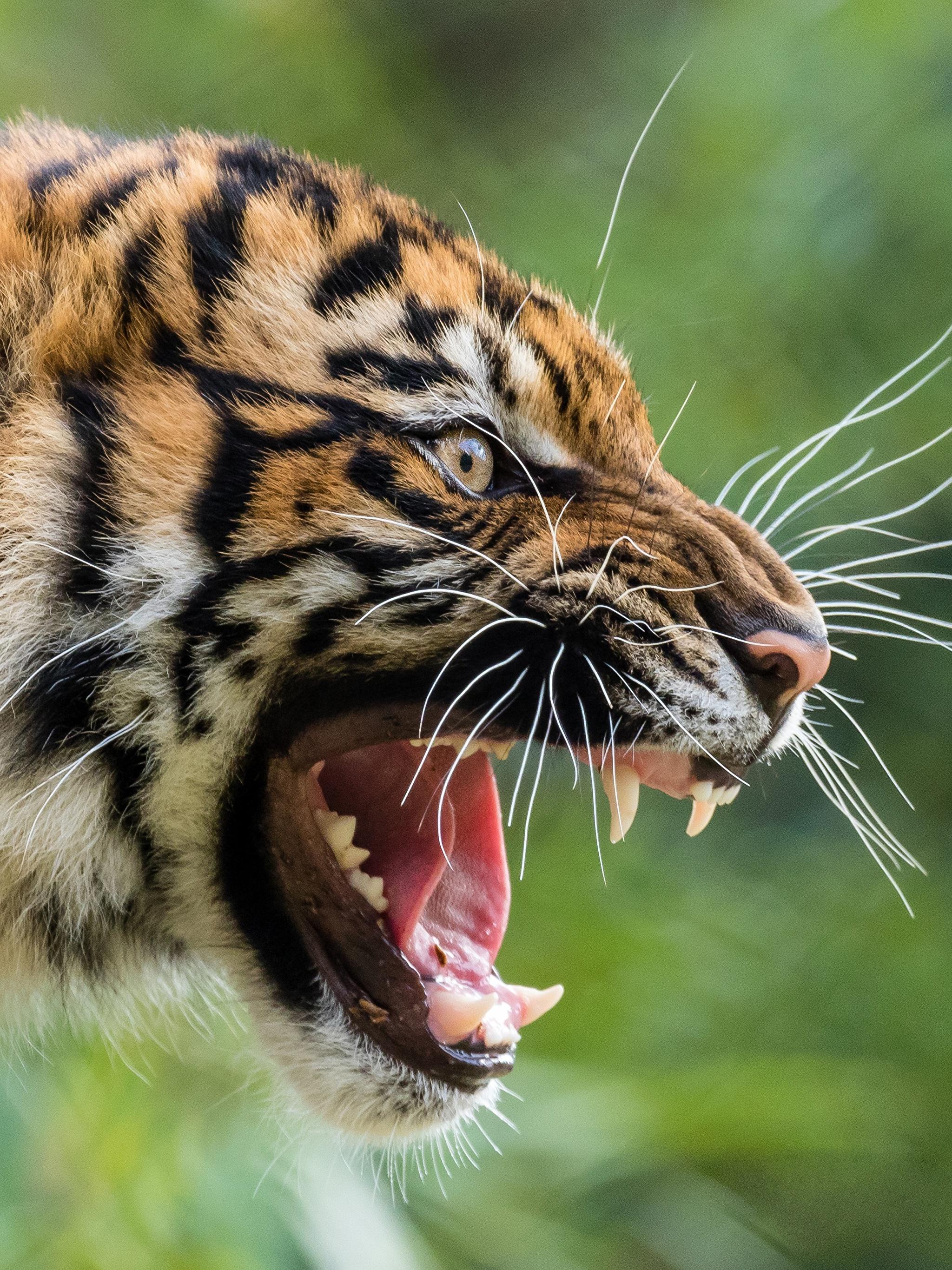 Скачать Обои На Телефон Оскал Тигра