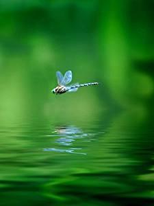 Bilder Libellen Wasser Flug Grün Tiere