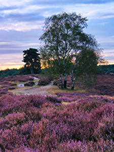 Bilder Lavendel Deutschland Parks Morgendämmerung und Sonnenuntergang Himmel Bäume Westruper Heide Natur