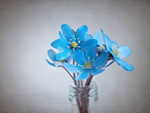 Images Closeup Gray background Light Blue Hepatica flower