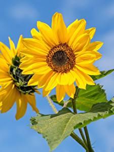 Fonds d'écran En gros plan Tournesols Bokeh Jaune fleur