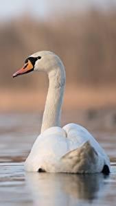 Hintergrundbilder Vögel Schwan Hinten Unscharfer Hintergrund Weiß