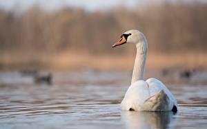 Hintergrundbilder Vögel Schwan Hinten Unscharfer Hintergrund Weiß Tiere