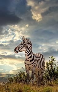 Fotos Himmel Zebras Gewitterwolke Gras ein Tier Natur